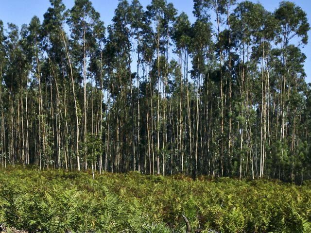 'Don't blame the eucalyptus' - paper industry