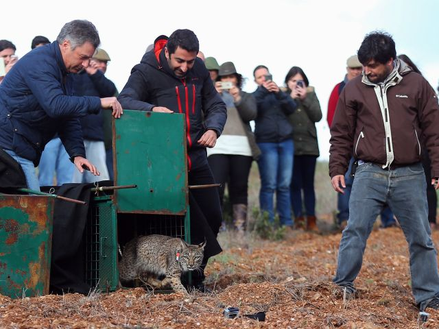 Female Iberian lynx found dead in the Guadiana Valley Natural Park