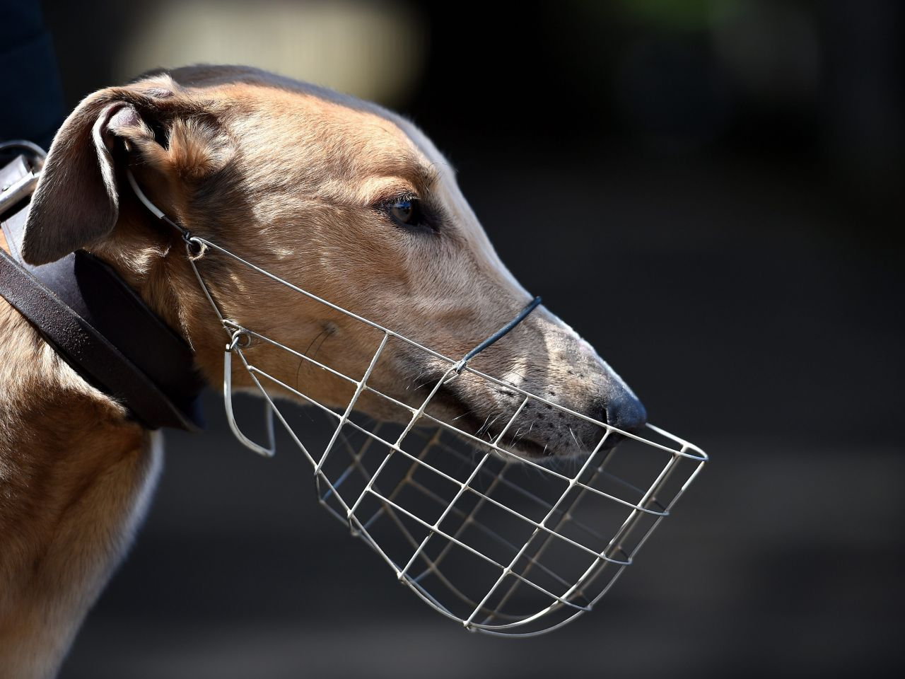 Parliament rejects move to ban dog racing in Portugal