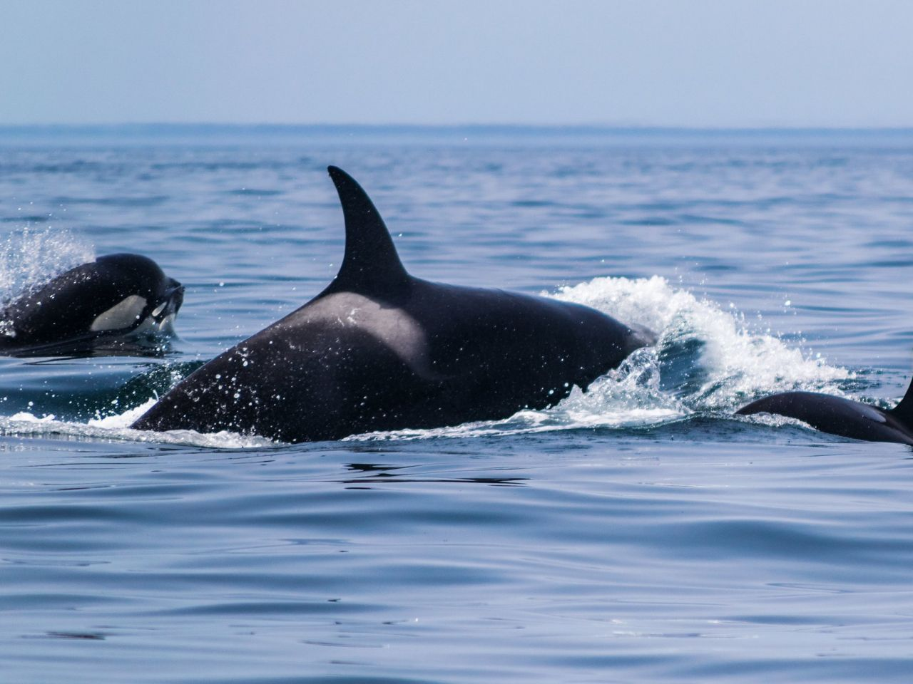 Killer Whales Spotted In The Algarve