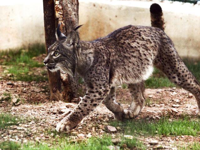 Three lynx kittens born