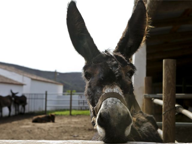 From the seaside to the countryside: Algarve farm launches donkey rides to protect Miranda breed