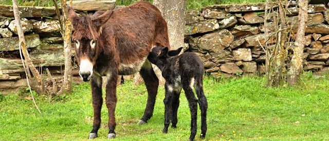 """Symbolic and cultural"" worth of Miranda Donkey under threat by mass-milk production"
