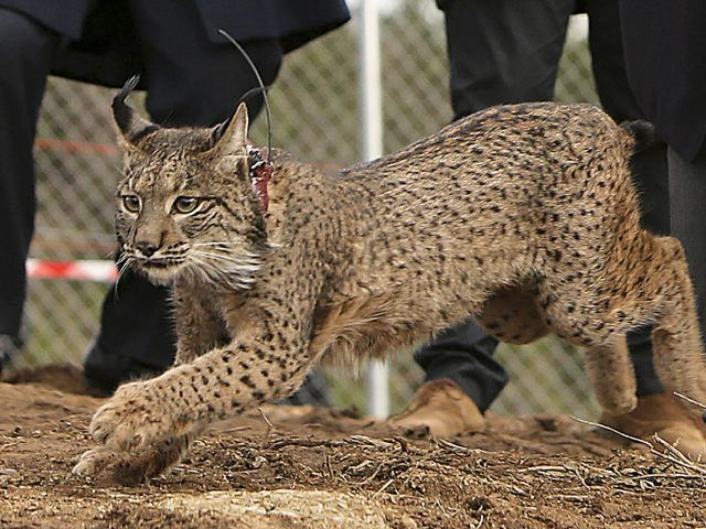 Iberian Lynx female released last month found dead