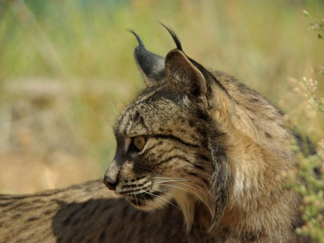Another lynx killed after being run over