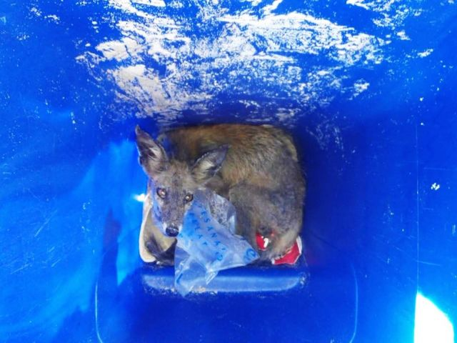 Injured Tavira fox caught and being looked after