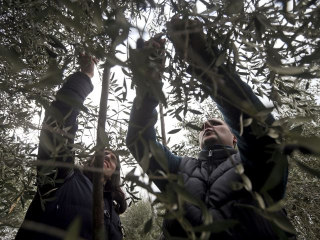 Olive production down 30 percent
