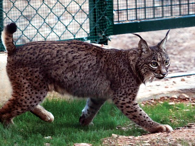Iberian lynx soon to be reintroduced to natural habitat in Portugal