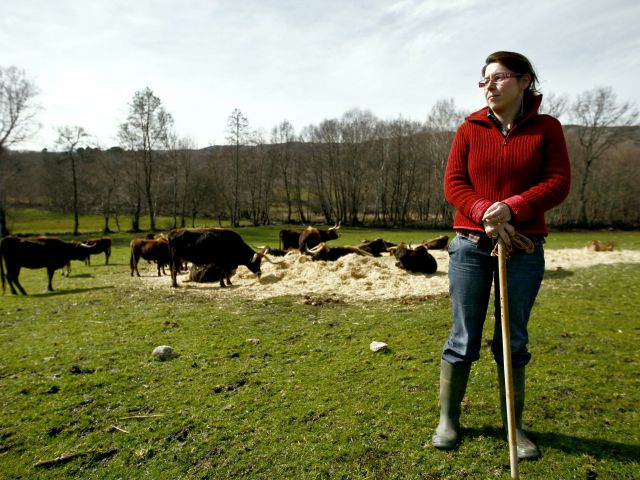 Maronês cattle breeders halved in a decade